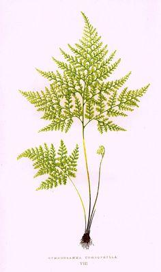 """Lowe's Ferns - """"GYMNOGRAMMA CHOEROPHYLLA (VIII)"""" - Chromolithograph - 1856"""