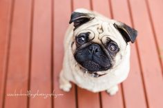 Pug Pet Photography   Bec Brindley Photography