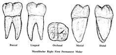 MOLARSupper School Stuff, Teeth, Studio, Tooth
