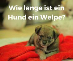 Wie lange #gilt ein #Hund als ein #Welpe? #18Lebenswoche