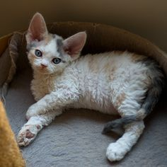 Flower, Devon rex kitten photo by Peter Hasselbom