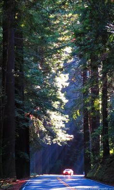 Majestic redwoods.  Photo by Tony Reed. #northcliffhotel  #mendocinocoast #fortbragg #redwooods