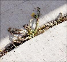 weeds_killer_vinegar04