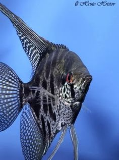leopard angelfish | เทวดาอัลตั้ม Altum angelfish