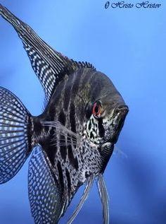 leopard angelfish   เทวดาอัลตั้ม Altum angelfish