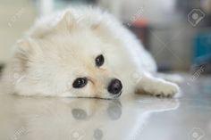 Related image Pom Dog, I Love Reading, Doggies, Husky, Animals, Image, Little Puppies, Animales, Animaux