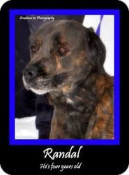 MICHIGAN URGENT ~ RANDAL is a 4y/o adoptable Labrador Retriever Terrier dog in Standish. young man, with a very handsome brindle coat.  I'm a good-sized boy, about 65 pounds or so, and I'm good with kids and other dogs.  I'm HOUSETRAINED, and also up to date on my shots.  I'm available for IMMEDIATE adoption and would sure love it if you'd take me home to live with you.  I will love you forever. ARENAC COUNTY ANIMAL CONTROL  3750 Foco Rd Standish MI 48658  Ph 989-846-4421 acac_hle@yahoo.com