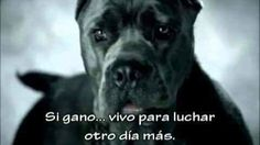 urgent investigation to end dogfighting in Asturias.