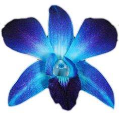 dendrobium orchids wholesale | Blue Dendrobium Orchids Wholesale | Beautiful Orchids Care