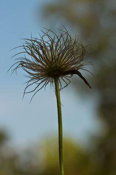 Perennials, Dandelion, Colorful, Flowers, Plants, Dandelions, Plant, Taraxacum Officinale, Royal Icing Flowers