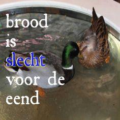 Brood is helemaal niet goed voor de eend (en andere vogels)! http://www.goeievraag.nl/wetenschap/biologie/vraag/110226/brood-slecht-eenden