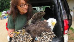 Starving Bald Eagle trusts people to save his life! For the love of animals. Pass it on.