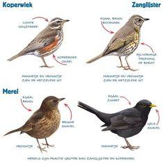 Infographic lijsters en merel (thrush and blackbird) Birds In The Sky, Love Birds, Beautiful Birds, Bird Poster, Kinds Of Birds, Sea Fish, Little Birds, Colorful Birds, Wildlife Art