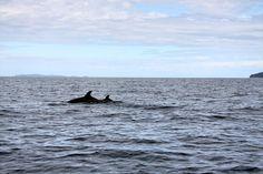 Une belle visite inattendue - des dauphins! / An unexpected sight : dolphins! | parc national de Coiba, Panama