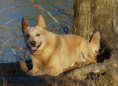 An australian cattle dogs favorite pastime: Sunday afternoons relaxing in the woods.   ~the woods at long pond.