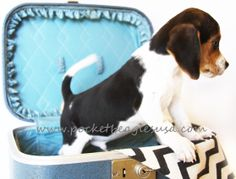 All packed and ready. This little pocket beagle from Pocket Beagles USA is a total dream. www.pocketbeaglesusa.com