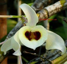 Dendrobium signatum Rchb. f. 1884