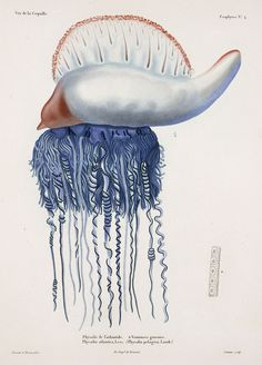 || Portuguese Man O' War, by René Lesson and Pancrace Bessa, from Louis-Isidore Duperrey, Voyage autour du monde, 1825-30.