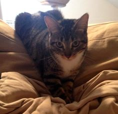 Meet+Addie,+a+Petfinder+adoptable+Tabby+-+Brown+Cat+|+Littleton,+CO+|+Please+meet+sweet+Addie!Addie+is+a+beautiful+gray/brown+and+white+tabby+girl.+++She+is+a+very...
