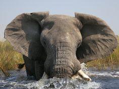 Elephant, Botswana delta, Africa