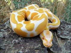 Oscar - Images For: Yellow Anaconda / Python / Breeders / Temperament / Pet / Snake Pretty Snakes, Cool Snakes, Beautiful Snakes, Ball Python Morphs, Cute Reptiles, Reptiles And Amphibians, Beautiful Creatures, Animals Beautiful, Snake Photos