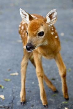 Beautiful Baby Deer. I see these beautiful babies every early Spring.