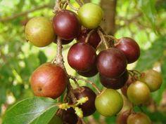 Droifie - Surinaams druif - baby druif