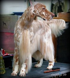 Let's face it, English Setters are babes. And we're convinced that they possess such total beauty that they can (and will) conquer the beauty of the gods.