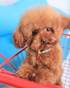 Hehehehehe baby poodle he looks silly! :)