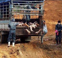It is amazing to me that so many people can be so disconnected from the consequences of their actions. There is outrage when outbreaks of swine flu and avian flu in factory farms across the world result in situations like this, but few are willing to give up their bacon and their nuggets to prevent this all too common nightmare from happening in the first place. And yes, those piglets are still alive.