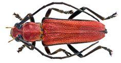 Family: Cerambycidae Size: 16,2 mm Location: Vietnam North, Bac Kan Prov., Ba Bè National Park, 150 m leg.det. A.Skale, 19.V.2014; Coll. A.Skale Photo: U.Schmidt, 2014