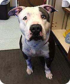 Corona, CA - Pit Bull Terrier Mix. Meet KENNEL 35, a dog for adoption. http://www.adoptapet.com/pet/12148450-corona-california-pit-bull-terrier-mix