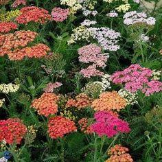 Røllike (Achillea millefolium 'Summer pastels') - Staude i Achillea Millefolium, Garden Plants, Herbs, Pastels, Nature, Summer, Outdoor, Inspiration, Choices