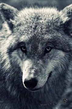 Wolf and bear google search art inspiration pinterest wolf white wolf meet the amazing looking mongolian wolf with beautiful soulful eyes publicscrutiny Images
