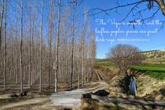 The Vega is the area to the west of Granada city, mainly flat and dedicated to agriculture, where the poplar tree, elchopo, is in its element.