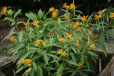 Yellow Milkweed @ Florida Native Plants Nursery I get tons of butterflies in my garden with these plants!