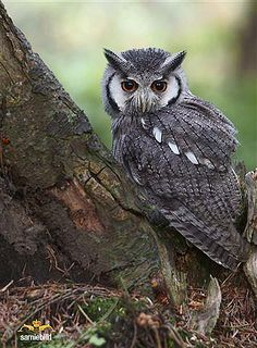 Northern White faced Scops by sarniebill1, via Flickr