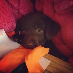 A quick chew before lunch  Puppy - dog - pup - Labrador - chocolate labrador - chocolate lab - cute - petersfield -  pet.