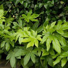Faux-aralia - Fatsia japonica plantation mars mai