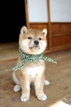 #豆助 #柴犬 #Shibainu