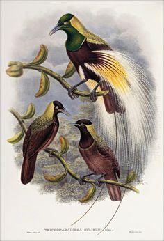Birds of paradise 38