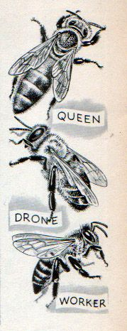 "bees - WORKER bees are ALWAYS females, they tend to eggs  the queen  gather pollen for honey ~ Queen bee mates with the drones  lays the new ""bee babies"" ~ DRONES are the males - their only purpose is to mate with the queen"