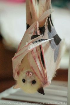Rare Australia bat, design allows bat to hang upside down, nose evolution keeps juice from running up their nose.