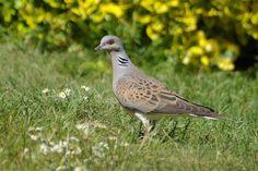 Turtle Dove - Norfolk Wildlife Trust
