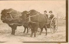 Bison-drawn carriage in Sioux Falls, South Dakota 1900 : OldSchoolCool Vintage Pictures, Old Pictures, Native American Art, American History, American Bison, Sioux Falls South Dakota, Foto Picture, Old West Photos, Into The West