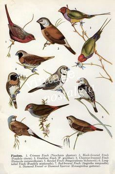 vintage Australian Birds print Finches vintage bird illustration home decor, bird decor. $4,95, via Etsy.