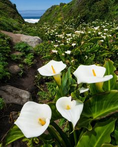 "San Francisco Dan Kurtzman on Instagram: ""Loved seeing the calla lilies at Garrapata State Park in Big Sur. Even though they were past peak bloom, they still looked gorgeous lining the small valley leading down to the ocean"
