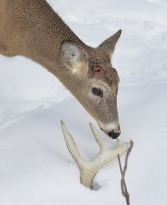 Tips and tactics for finding more shed antlers this spring. Tips provided by the Robinson Outdoors Pro Staff.