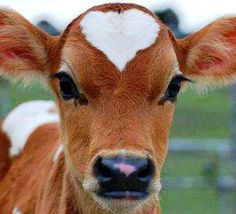 Heart on a cow! How cute! She's a pretty cow! Cute Baby Animals, Animals And Pets, Funny Animals, Vegan For The Animals, Nature Animals, Wild Animals, Beautiful Creatures, Animals Beautiful, Fluffy Cows