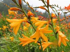 Crocosmia 'Large Apricot' ex Perryhill Crocosmia, Large Flowers, Grass, Plants, Grasses, Plant, Planets, Herb